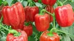 Перець солодкий: вирощування і догляд від насіння до плодів