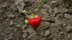 Пересадка полуниці: дбаємо про майбутній урожай
