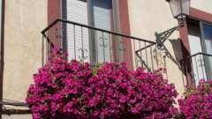 Петунія на балконі: вибір насіння і тонкощі вирощування
