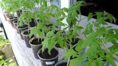 Пікіровка томатів - важливий етап вирощування розсади