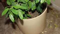 З яких причин у фікуса обпадає листя
