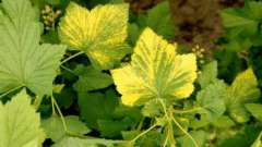 Чому у чорної смородини жовтіють листя? Причини хвороби, методи лікування та профілактики