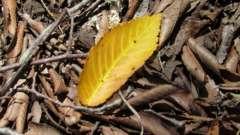 Чому у фікуса обпадає листя. У фікуса жовтіють листя і обпадають