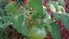 Чому жовтіє листя у розсади помідор? Як з цим боротися?