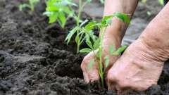 Підживлення помідорів у відкритому грунті для кращого розвитку розсади