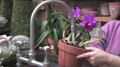 Полив орхідей в домашніх умовах: головне - не переборщити