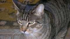 Смугастий кіт. Особливості забарвлення