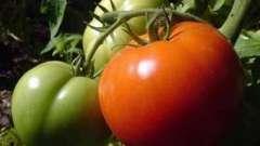 Помідори у відкритому грунті - рясний урожай
