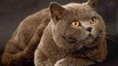 Популярна порода кішки. Британець - улюблений домашній вихованець