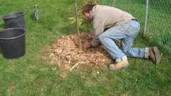 Посадка груші восени відбувається в заздалегідь підготовлені ямки