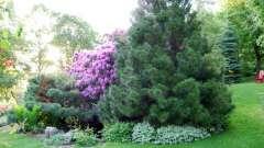 Посадка хвойних дерев навесні: рекомендації