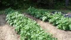 Посадка картоплі по мітлайдера: відгуки. Схема посадки картоплі по мітлайдера