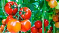 Посадка помідор в відкритий грунт і теплицю. Поради городникам