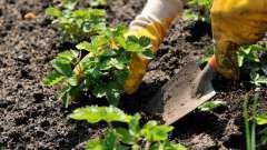 Після чого можна садити полуницю? Яку грунт любить полуниця? Як садити полуницю навесні?
