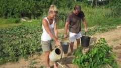 Правильний полив капусти