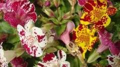 Прекрасний мімулюс - вирощування з насіння ефективно і просто