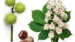 Застосування каштана кінського в народній медицині і його корисні властивості