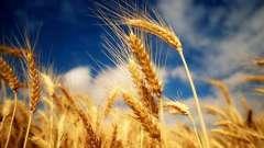 Пророщена пшениця. Користь і шкода панацеї