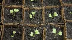 Розсада цвітної капусти: вирощування в домашніх умовах