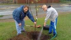 Розбираємося, як посадити яблуню восени