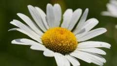 Ромашка: корисні властивості та протипоказання. Область застосування рослини