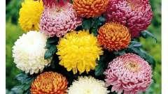 Садова хризантема: посадка і догляд