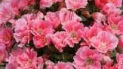 Садові рослини: квіти годецію