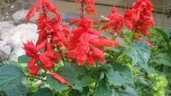 Сальвія - що це за квітка?