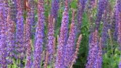 Сальвія - квітка чудової краси