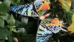 Найкрасивіша метелик. Назва найкрасивішою метелики в світі