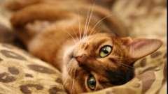 Найкрасивіша і розумна абиссинская порода кішок