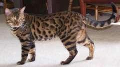 Найкрасивіша порода кішки - про що йде мова?