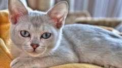 Найдорожчі кішки: породи і їх опис