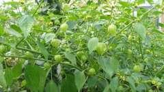 Їстівний фізаліс: вирощування з насіння