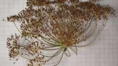 Насіння кропу. Лікувальні властивості і область застосування