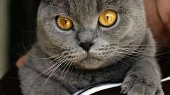 Шартрез - кішка невибаглива і спокійна