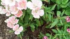 Казкова кларкия: вирощування з насіння