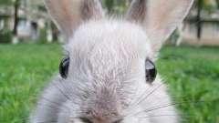 Скільки живуть декоративні кролики в домашніх умовах? Що впливає на тривалість їхнього життя?