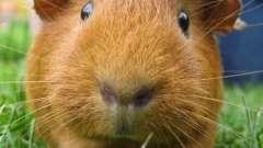 Скільки живуть морські свинки в домашніх умовах і як продовжити терміни їх буття?
