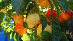 Зібралися вирощувати перець болгарський? Посадка і догляд за ним мають особливості