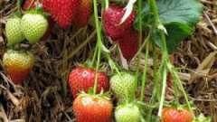 Поради досвідчених городників: як підготувати грядку під полуницю