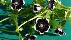 Зворушлива немофіла - вирощування з насіння