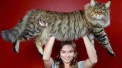 Дивовижні породи великих кішок