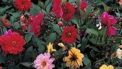 """Дивовижний світ квітів - жоржини """"веселі хлопці"""""""