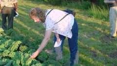 Догляд за капустою в період її вирощування