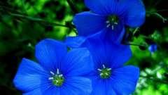 Прикраса будь-якого будинку - синій квітка
