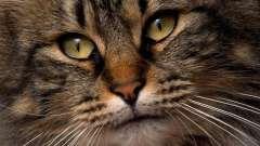 Унікальна порода кішки - сибірська