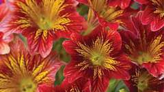 Унікальний квітка сальпиглоссис: вирощування з насіння