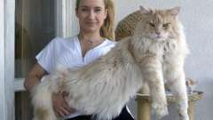 Величні і граціозні кішки: порода мейн-кун