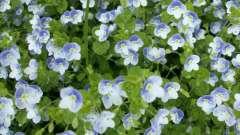Вероніка (рослина): опис, сорти, вирощування, фото